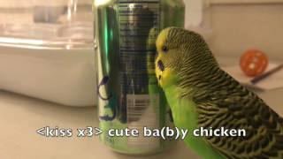 Kiwi the Budgie talks up a storm for two and a half minutes!