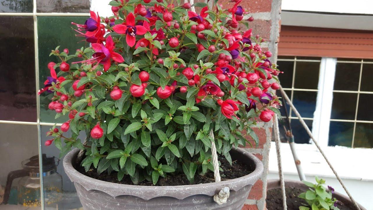 KÜPE ÇİÇEĞİ. Küpe çiçeğinin bakımı ve çoğaltılması nasıl yapılır? Fushia Flower