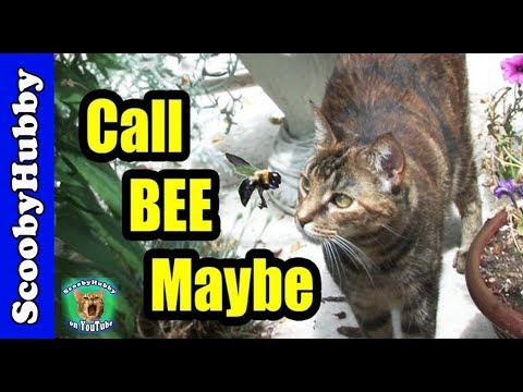 call-bee-maybe----cat-clips-#225
