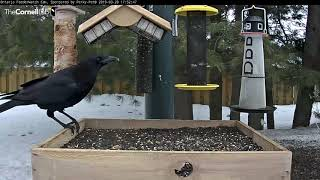 Crows Dance and Display on the Feeder | Cornell Lab | Ontario FeederWatch Cam, Powered by Perky-Pet® thumbnail