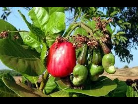 planting technique in cashew cultivation