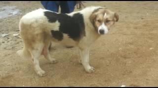 Молодая собака 3поездки Айтжана Алибекова