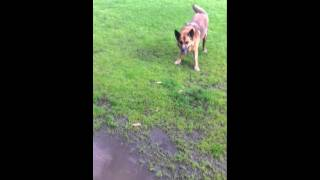 German Shepherd X Kelpie (podge) Sits In Puddle And Does Her Tricks (petacular Services)