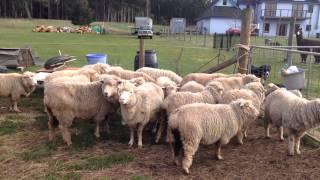 Attrape moutons