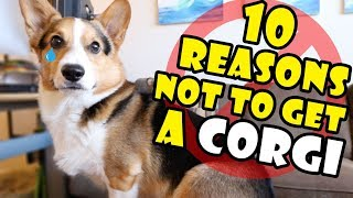 10 Reasons Why You Should NOT Get a CORGI Puppy || Extra After College