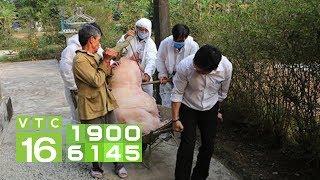 Nông dân, tiểu thương điêu đứng vì dịch tả lợn Châu Phi I VTC16