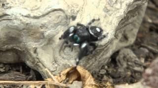 Black and White Jumping Spider (Phidippus audax)