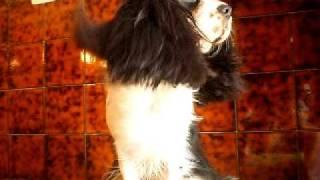 Roxy & Il Phon -  Cavalier King Charles Spaniel