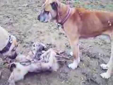 REAL LIVESTOCK GUARDIAN DOGS BOZ SHEPHERDS