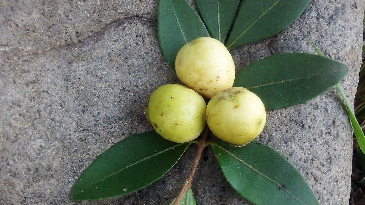 El mirto, arrayán, murta, guayabillo, Psidium sartorianum - YouTube