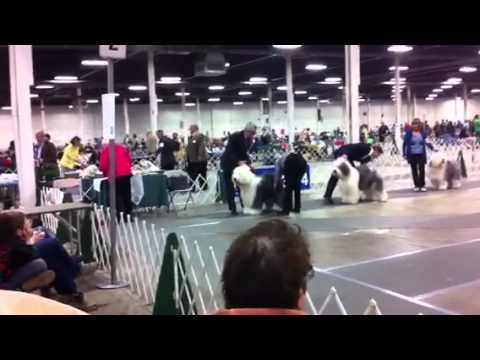 Old English Sheepdog best of breed
