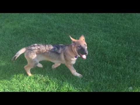 German Shepherd Puppy Potty Trained In 3 Days