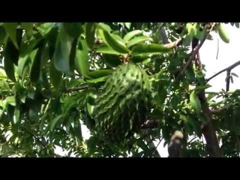 Soursop ( Graviola ) - Tree from Botanical Gardens Brisbane