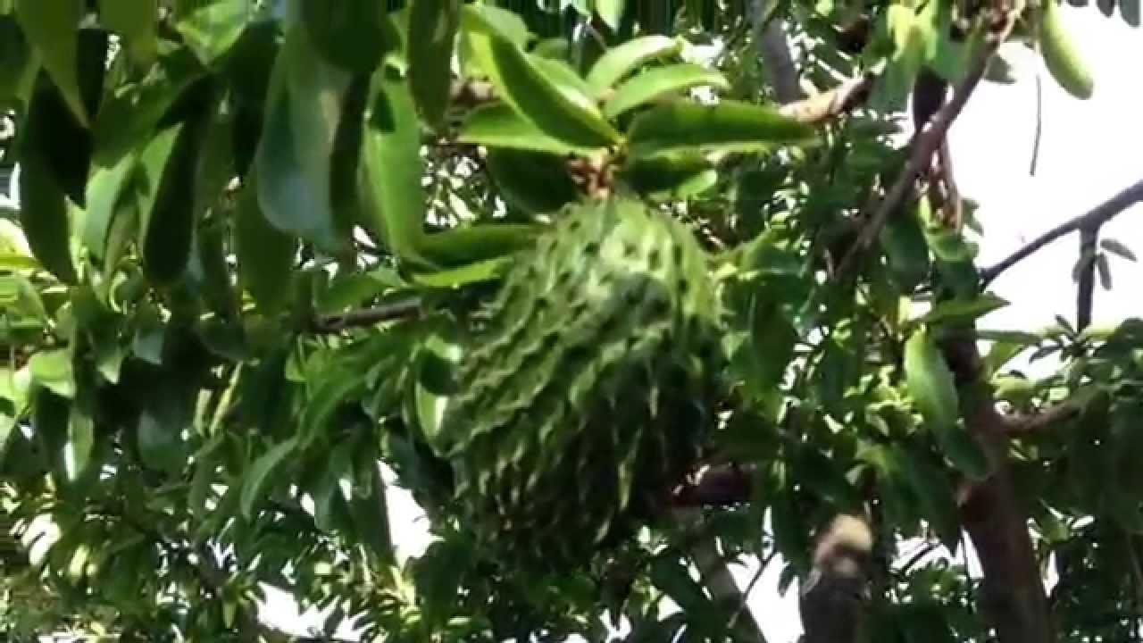 Unveiled Jobless Money Tai Tai's Life: HARVEST OF SOUR SOP  |Guyabano Tree