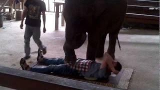 Слон давит яйца мужику. Жесть. Тайский массаж от слона.