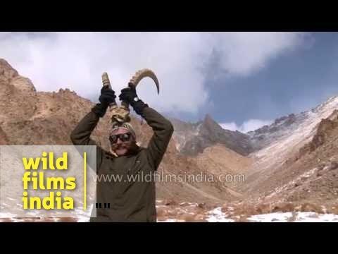 Men find Markhor horns in upper Ladakh