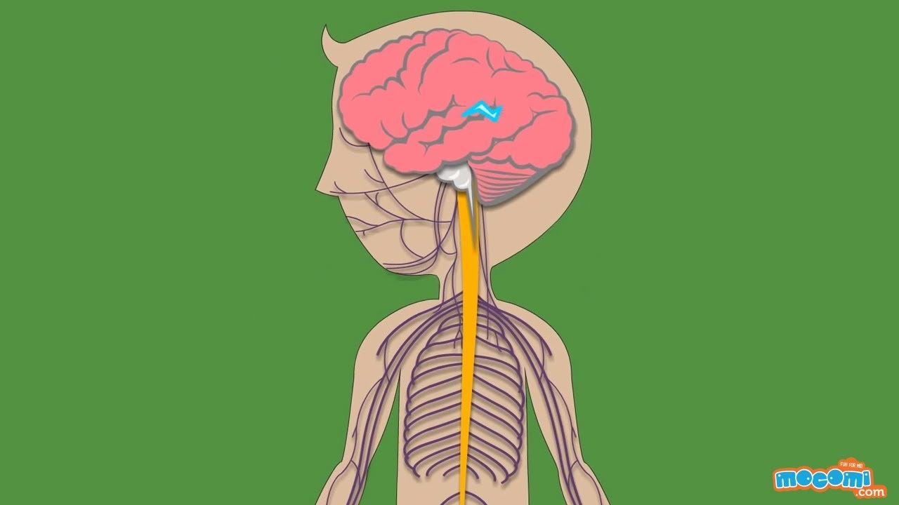 The Nervous System - Human Body Parts | Science for Kids | Educational  Videos by Mocomi