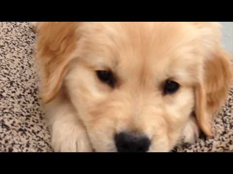 Golden Retriever Puppy // Louie's Early Years