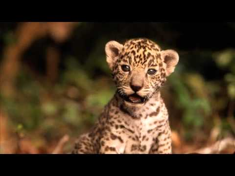 jaguar animal pictures youtube