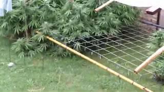 Marihuana con lluvia y maniobrando para cosechar