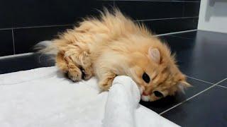 The Ultimate Battle: Cat Vs Carpet