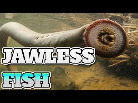 [Animal 31] JAWLESS FISH HISTORY, EVOLUTION AND PRESENT FORMS