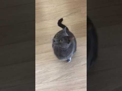 Chatty Horton our 7yr old Korat cat