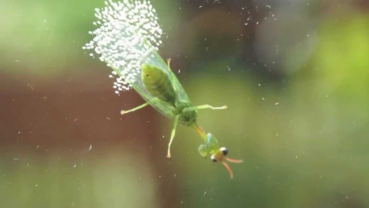 Insect Laying Eggs (Probably a Green Lacewing)