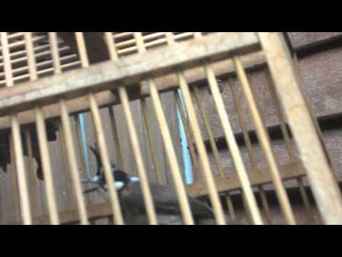 นกกรงหัวจุกด่าง ตัวเมีย คิ้วแดง 2 ข้าง