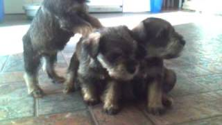 Non Shedding Mini Schnauzer Puppies For Sale