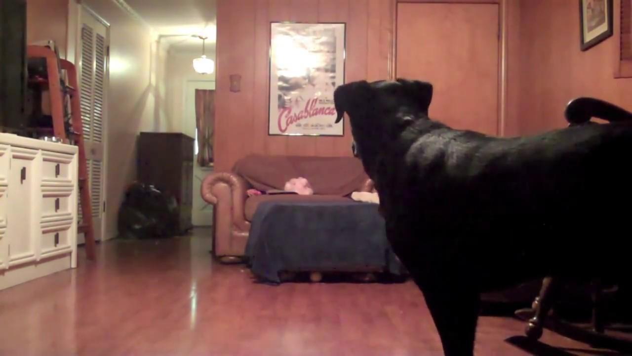 Hidden Camera Dogs Home Alone