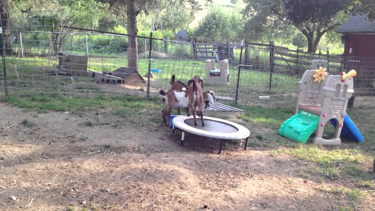 Pygmy goat kid playing - YouTube |Baby Goats Playing Youtube
