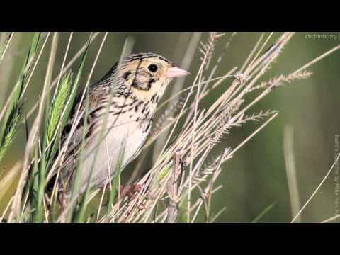 Baird's Sparrow Song