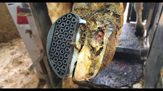 ROTTEN, BACTERIA INFECTED cows HOOF ... dealing with a COMPLICATED ULCER   The Hoof GP