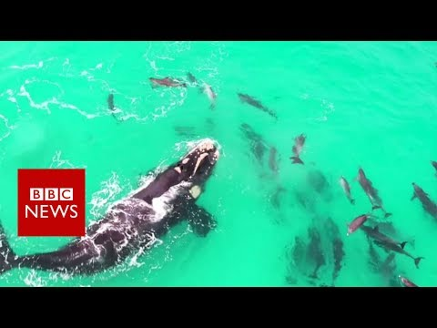 a whale playing with dolphins - BBC News
