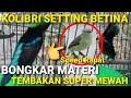 Kolibri Ninja Gacor Setting Betina Bongkar Materi Mewah  Mp3 - Mp4 Download