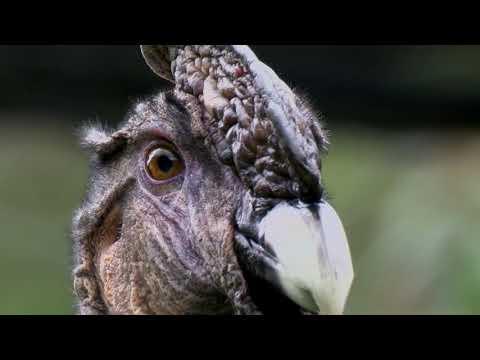 The Andean Condor Youtube