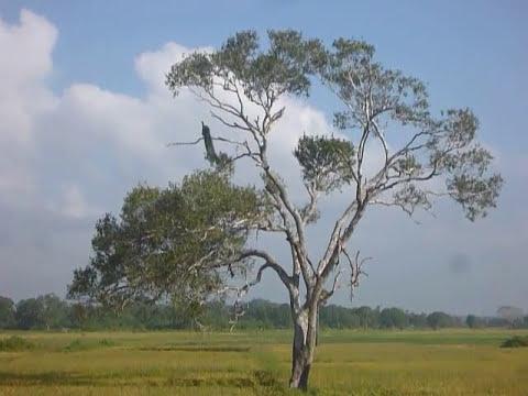Sri Lanka,ශ්රී ලංකා,Ceylon,Peacock,Peafowl in a tree