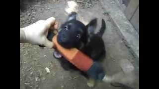 дрессировка щенка овчарки в 2 месяца