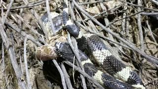 Kingsnake Vs Glossy Snake
