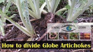 How to divide Globe Artichoke to Make More Plants