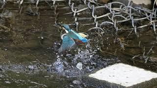 カワセミ 20190907 No 1 巣立ち The kingfisher. Nesting.