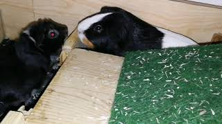 MeerschweinchenBaby ist endlich angekommen und angenommen ❣️