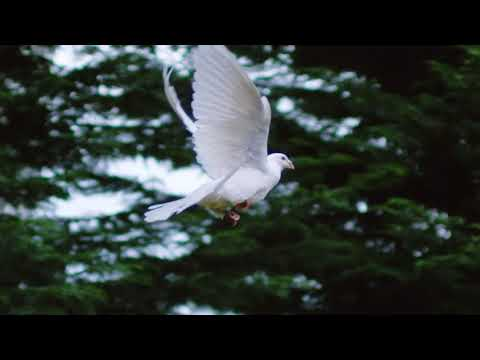 White Dove Filmed With 2000fps Ultra Slow Motion In Cluj 4