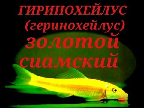 Аквариумные рыбки цихлиды содержание, фото, совместимость