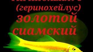 Аквариумные рыбки.Сом ГИРИНОХЕЙЛУС золотой (желтый).