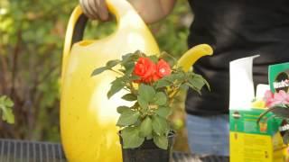 How to Fertilize Potted Double Impatiens : Garden Space