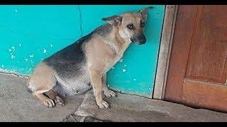 Люди переехали и бросили беременную собаку, она целый месяц ждала хозяев