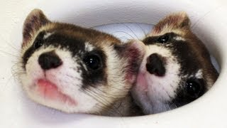 Curious Black-footed Ferrets