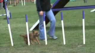 Ruby Border Terrier Win Grade 4 Agility Tag